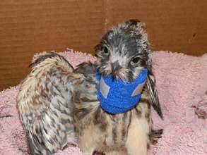 Kestral with neck injury