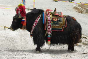 Yaks became central to our fellow's business plan
