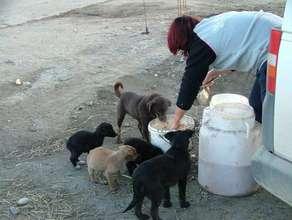 feeding dogs in Moreni