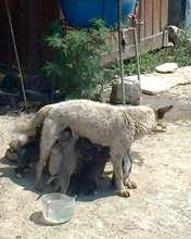 nursing mom with pups in Moreni