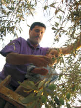 A father and son picking olives in the West Bank