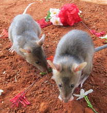 Two HeroRats searching for love!