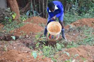 Watering Moringa Trees