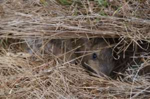 Normal grass shelter leaves Bandicoot's vunerable