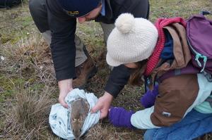 CVA Volunteer releasing Eastern Barred Bandicoot