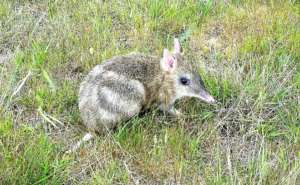 One of our Eastern Barred Bandicoot 'cleanskins'.