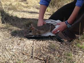 Releasing the bandicoot after the health check