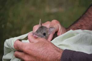 Juvenile Eastern Barred Bandicoot