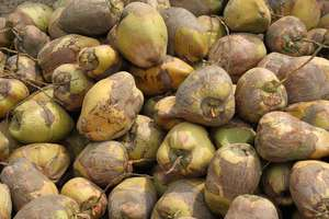 Many, Many Coconuts to You!