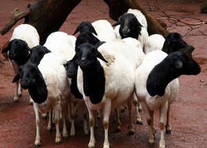 Sheep for Adolescent AIDS Orphans in Zimbabwe