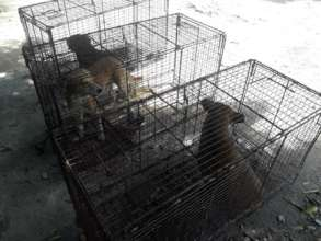 Trapping, Fixing and Returning 6 Community Dogs