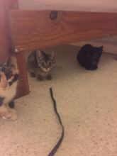 Kittens in foster care being socialized