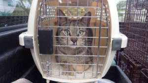 A cat awaiting surgery