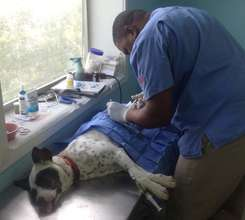 Sparkles being spayed by Dr. Dorsett in Andros