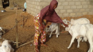 Elated Safiya and her cattle