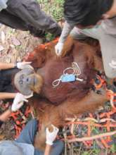 Bayu. Photo credit: Orangutan Information Centre
