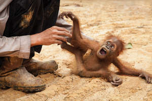 Terrified baby orangutan -  by Hanna Adcock