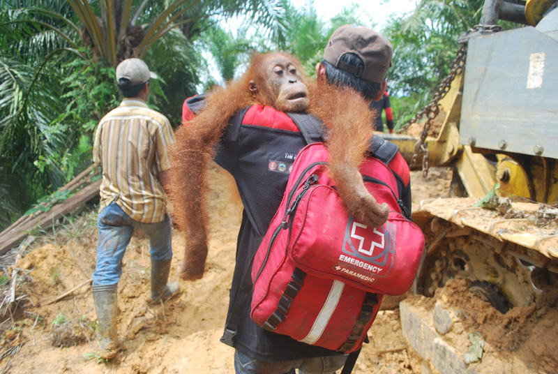 Orangutan Rescue: On the frontline in Sumatra
