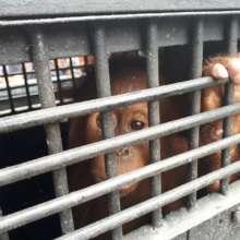 Baby orangutan in cage