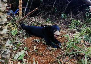 Sunbear caught in snare