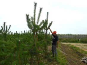 3-year old pines have grown into 3-4 meters high.