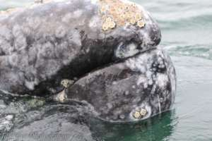 Curious Gray whale in Baja, by Jill Hein
