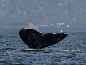 Gray whale #531 off Everett, WA; R.Snowberger