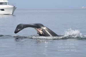 Bigg's T137A injury, Brad Hanson, NOAA Fisheries