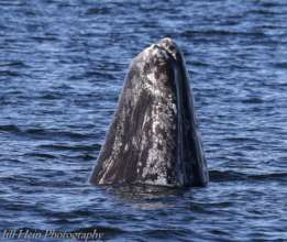 Gray whale #185 spyhopping, by Jill Hein