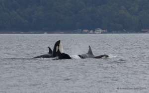J pod off S. Whidbey Island in Sept, M. Armbruster