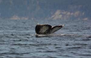 """Patch""/Gray whale #49 flukes, by Sandra Pollard"