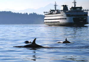 Orcas swimming near a WA State Ferry