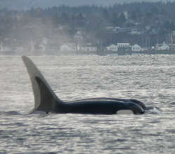 J pod in Admiralty Inlet, 2009