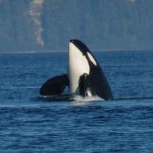 "An orca ""spyhops"" in the Salish Sea"