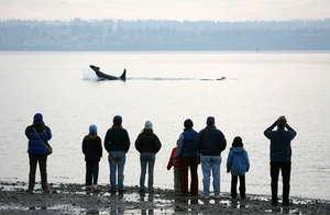 Shoreside whale watchers watch orca neighbors