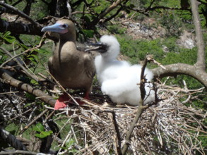 Red-footed Booby with chick, summer 2018
