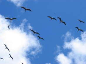 Magnificent Frigatebirds soar over fishing grounds