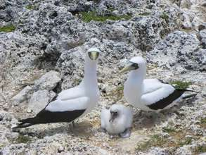 Masked Booby Parents with Chick