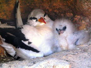Tropicbird parent with chick at nest