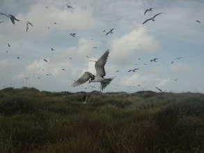 Sooty Tern Nesting Colony