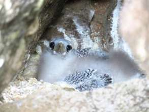 Protect Baby Seabirds in the Caribbean
