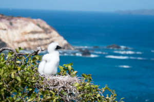 Red-footed Booby chick at the nest (A. Fidler)