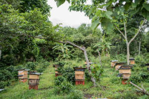 The apiaries require upkeep during rainy season