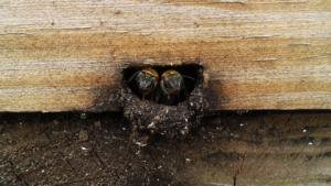 Melipona bees