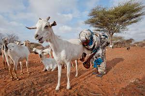 Habiba Milks a Goat