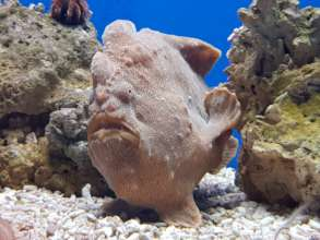 New Frogfish