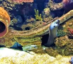 Moray eels at the Israel Aquarium