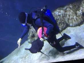 Keeper feeding pelagic ray at the Israel Aquarium