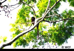 Red Colobus (Procolobus badius) feeding in a tree