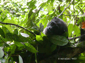 West African chimpanzee must survive